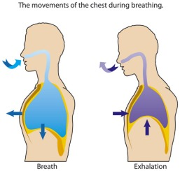 34592110 - the movements of the chest when breathing.